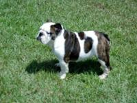 If a quality English Bulldog is what you've been