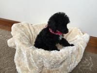 AKC (REDUCED) Toy- Tiny Toy POODLE PUP.The Parents are