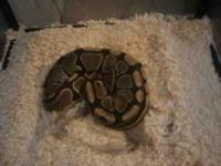 Selling my ball python for 250..comes with a zip up net