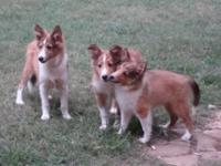 AKC Registered Beautiful Sable & White Great with Kids