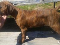 We have a Beautiful little brindle girl left!!!!! born