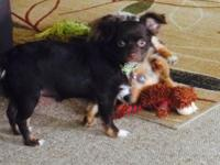Stunning long haired female chihuahua. Rare dark