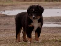 Beautiful 10 week old basic size Australian Shepherd