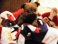 We have 3 very sweet home raised Cairn Terrier puppies.