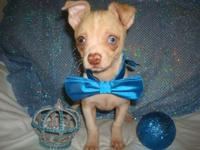 REDUCED rChihuahua puppy born on October 12, 2014. He