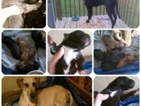 ** REDUCED !!! *** CKC Great Dane Puppies! Only 2 left