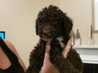 I have 4 beautiful male standard poodle babies still