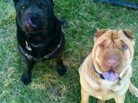 I have 2 adult Shar-Pei looking for a great home. The