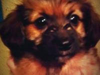 The Dorkie is a little home canine that is a hybrid mix