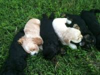 These puppies have been a blessing to me and my Family.