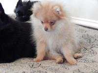 Gorgeous male beaver colored Pomeranian puppy