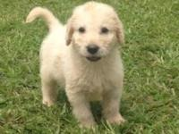 6 labradoodles left, they were born on July 19, and