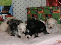 We have been blessed with a huge litter of Malti-poo