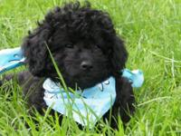 Black male Shihpoo puppy with a silky curly plush coat
