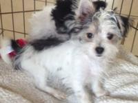 1 Morkie puppy ready for a new home! 1 girl left. Very