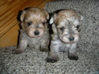 Born January 25 mom is Yorkie and dad is Maltese,