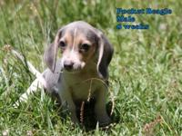 We have a litter of 7 Pocket Beagles that are 8 weeks