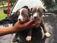 ADBA Registered American Pitbull puppies. 9 females and