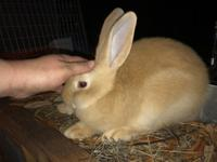 Fawn Flemish New Zealand Cross doe for sale. Will be a