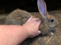 Beautiful Sandy Flemish Buck for sale. Located in Dade