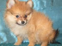 Playful Pomeranian male that loves to play with his