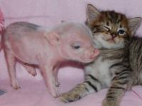We are having a piggy sale, weeee have tiny miniature