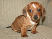 We have 4 adorable miniature Dachshund puppies