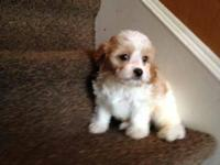 READY TO GO Beautiful Cavachon Puppies. Mom is a