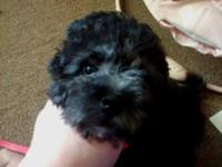 Adorable mini toy poodle posting for my nother who has