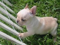 gorgeous French bulldog puppies for sale. Kc