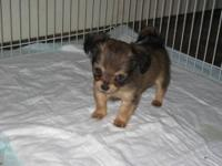 Ready to go! TINY runt! Only Pup left. Comes completely