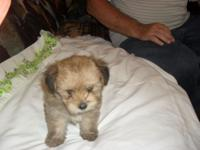 Lovely Male Yoranian or Yorkie - Pomeranian born August