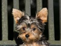Beautiful purebred Yorkshire terrier pups. And teacup