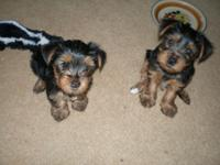 Yorkshire Puppies, 1 male 1 lady, Black and Tan do