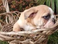 Rosie is a sweet and loving, full of wrinkles Bulldog.