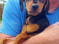 Reece's story Meet Reece a four-month-old Min Pin this