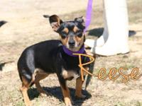 Reese is a shy chihuahua mix rescued from PAWS. She