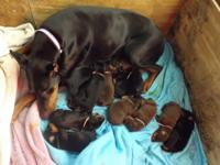 Reg AKC Doberman puppies, bred for great temperments. I