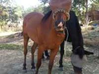 "HE'S SOLD ""Prince"" is a 12 year old registered Arab/QH"