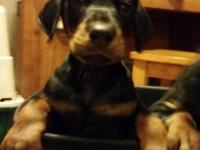 Reg. black and rust male and female doberman pinscher