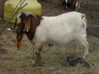 Reg 100% Boar billy Goat, 3 years old. He is up to date