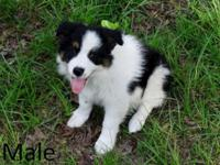 Registered Border Collie Puppies for sale. 1 Male and 1