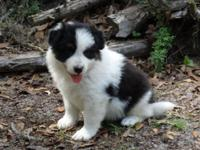 Registered Border Collie Puppies for sale. 2 Males and