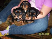 4 Lovely infant Black and Tan Cavaliers. These little