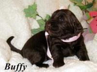 Gorgeous Chocolate Labradoodle Puppies. These puppies