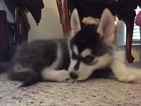 Reg. CKC Mini Husky Puppies. Siberian Husky/American