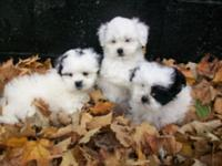 Lovable reg. ckc teddy bear young puppies for sale in