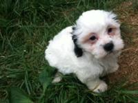 Adorable reg. ckc teddy bear young puppies for sale in
