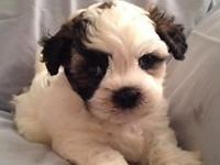 Adorable reg. ckc teddy bear puppies for sale in