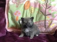 Wolf sable female ready for loveing home she comes with